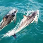 Les dauphins Dusky : rencontre exclusive