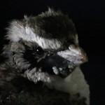 Op. Pengu-ing [action de chercher – et trouver – des pingouins]