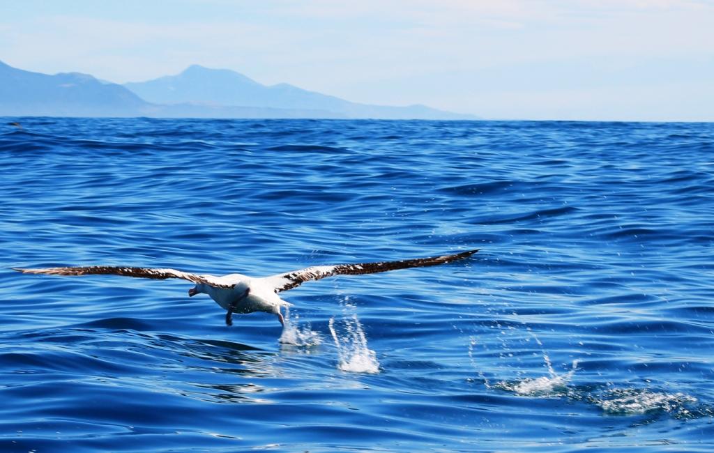 Le fameux décollage de l'albatros, sur plusieurs dizaines de mètres