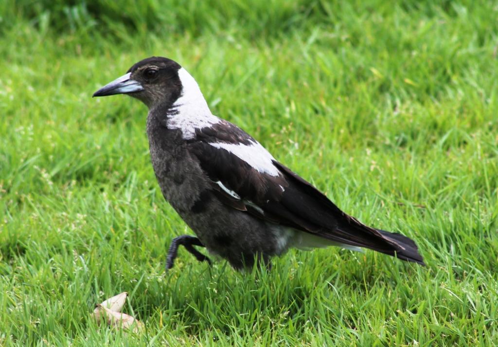 Entièrement noir et blanc, ce type de passereau est endémique de l'Australie