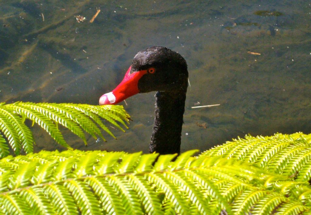Ce cygne noir a été photographié dans le parc Western Springs d'Auckland