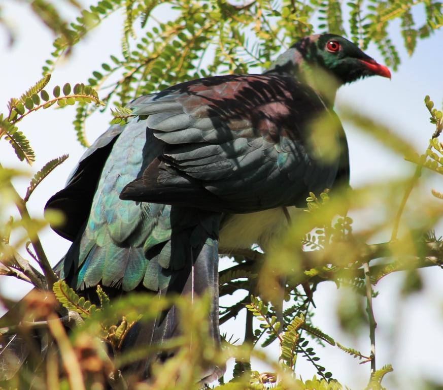 Le pigeon de Nouvelle-Zélande est bien plus dodu que nos piafs européens