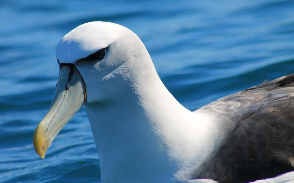 salvin albatros