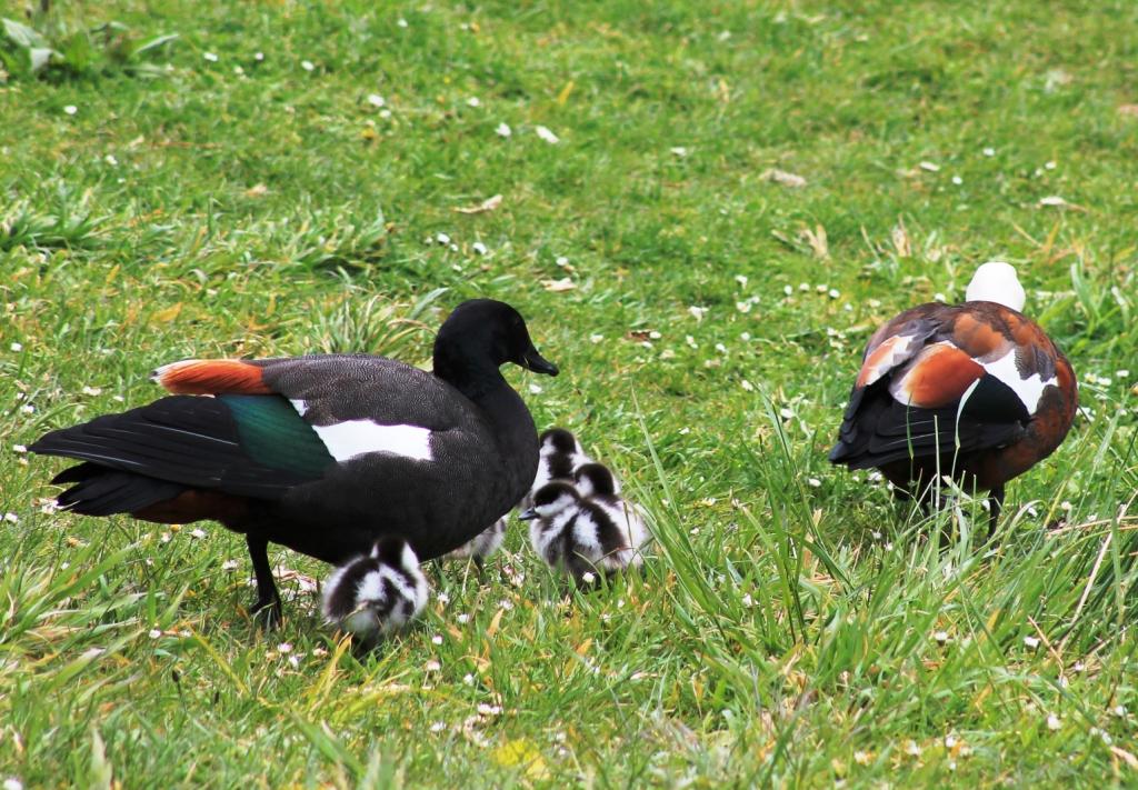 Les canards Tadorne de paradis sont inséparables. La tête noire appartient au mâle, la blanche à la femelle