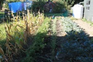 Maïs, carotte, oignon rouge, brocoli