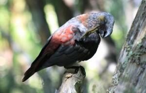 Le perroquet kaka