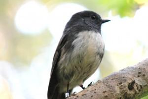 La mésange, ou Ngiru-Ngiru