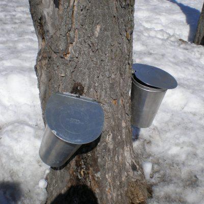 Les seaux pour la collecte de l'eau d'érable.